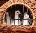 Svatebně bílí holubi